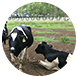 花蓮縣瑞穗鄉親子同樂,公司團康,不限瑞穗牧場春,夏,秋,冬無育樂體驗,美食購物四季,雨天瑞穗牧場擁有來自中央山脈純淨的水源,孕育了豐沛的牧草,因此蓄養出產有香純鮮乳的乳牛,遊客至此可以一覽牧場上牛隻悠閒覓食嬉戲的模樣,並可享用牧場供應的各項鮮乳美味飲食。