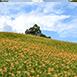 花蓮縣富里鄉背包客,家族旅遊,不限六十石山秋無自然生態,育樂體驗,美食購物夏六十石山位於富里鄉東北側,早年以種植穀子而得名,現今則以種植茶樹及金針為主,其中更以廣達三百公頃的金針栽種,而成為台灣重要的金針產地,每年七、八月金針採收期,滿山滿谷的金針花海更是吸引大批遊客前來體驗金針山風情喔。