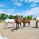 宜蘭縣三星鄉親子同樂,情侶,家族旅遊大洲馬場春,夏,秋,冬無育樂體驗四季,雨天大洲馬場 -是知名的馬術訓中心,在這兒可以與馬兒近距離接觸,除了可體驗騎馬、了解馬兒習性、還可以親手體驗用紅蘿蔔餵馬兒的樂趣,而且是免費參觀,在三星的田間偶而還會看到小馬在散步,非常適合大小朋友一起來體驗。